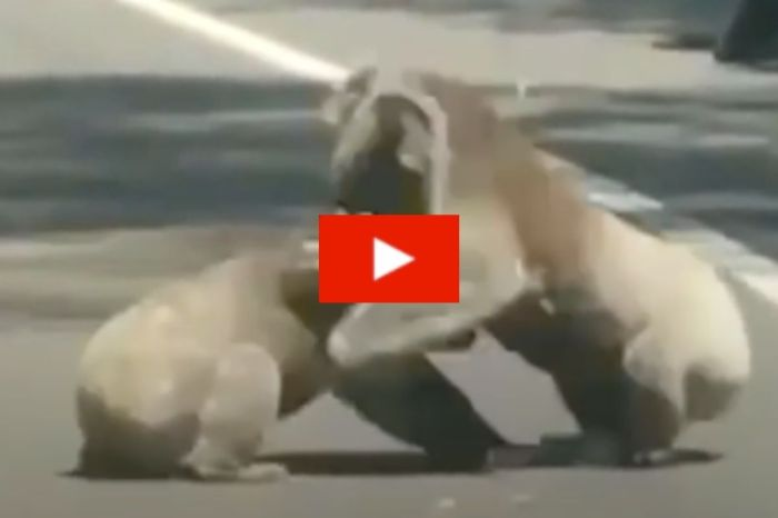 Driver Amusingly Finds 2 Koalas Fighting It Out in the Middle of the Road