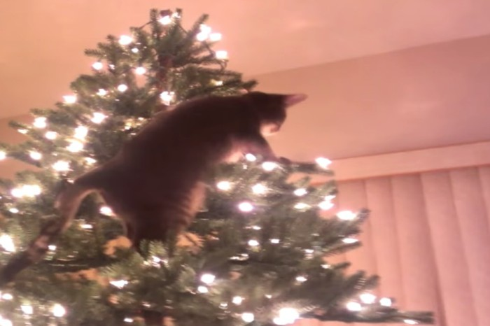 A cat makes a daring attempt to climb a Christmas tree to shocking results