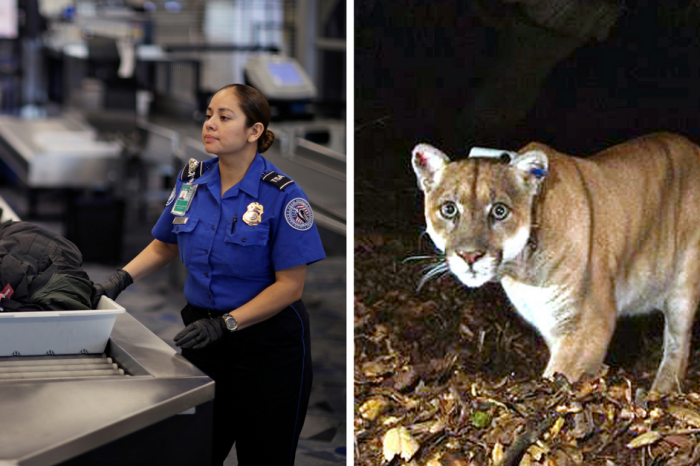TSA agents couldn't believe their eyes when a holiday traveler tried to bring a dead cougar on his flight