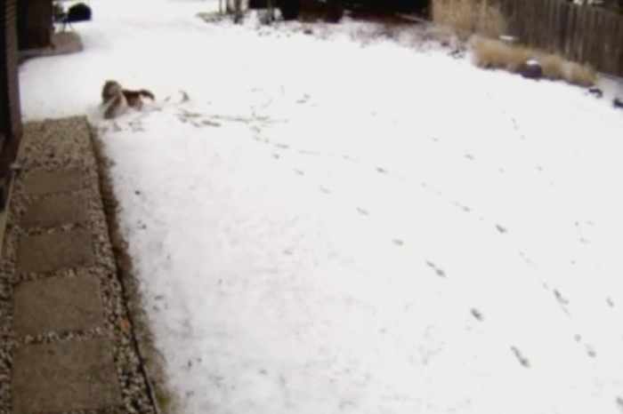 "Watch as this coyote ""came out of nowhere"" to viciously attack a Cairn terrier"