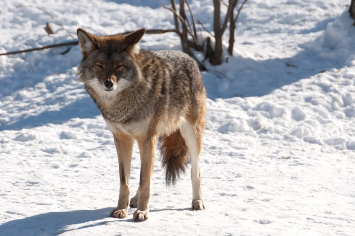 Coyote viciously attacks 15 year old dog in Northfield