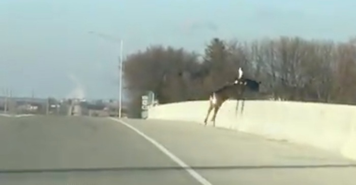 Deer that were scared out of their minds on an Iowa bridge made the saddest decision