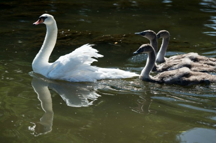 British police are trying to find a swan serial killer before more are killed