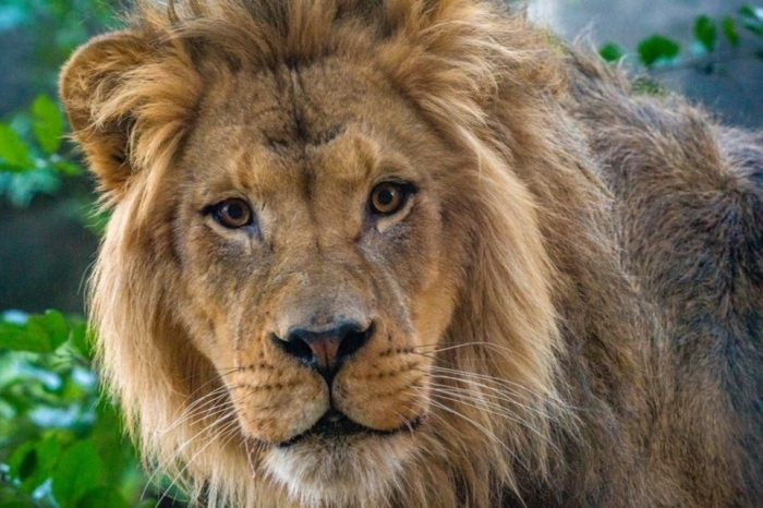 A new lion sleeps tonight at the Houston Zoo