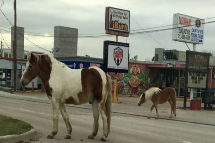 A woman said she couldn't believe her eyes when she spotted 2 wild horses trotting down Bellaire Blvd. this week