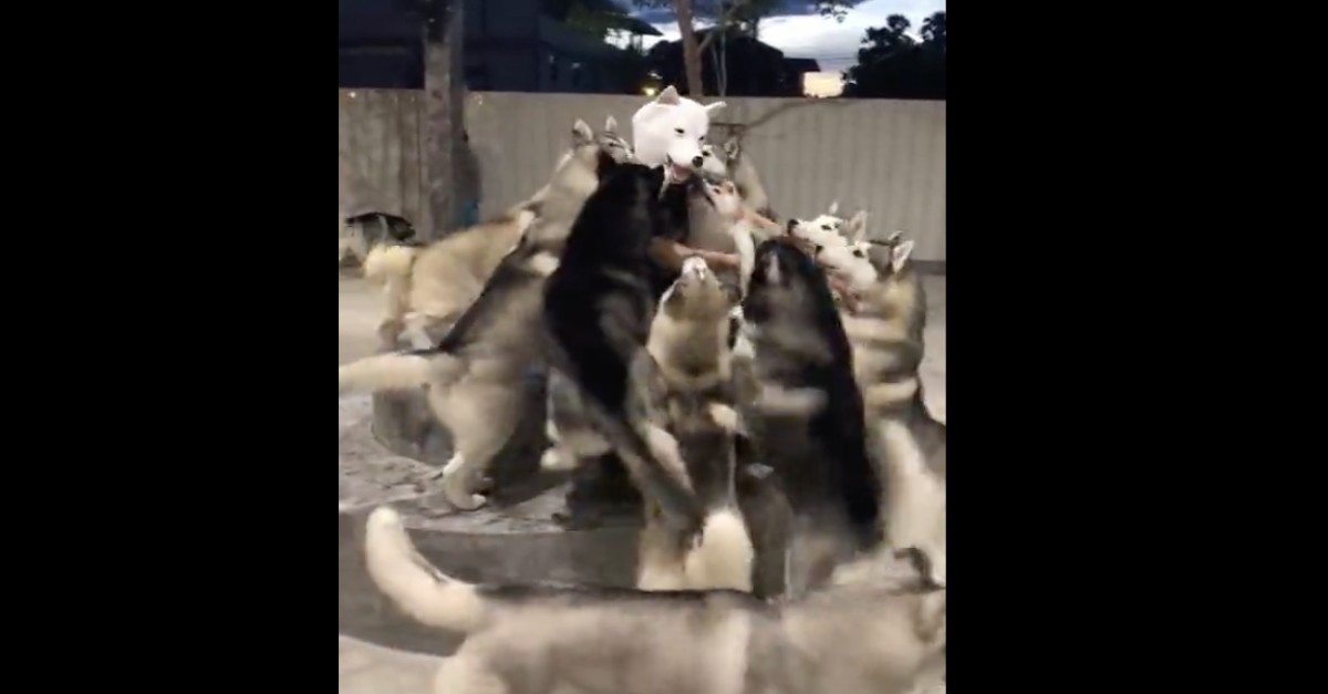 Watch what happens when a band of huskies sees a familiar-looking face