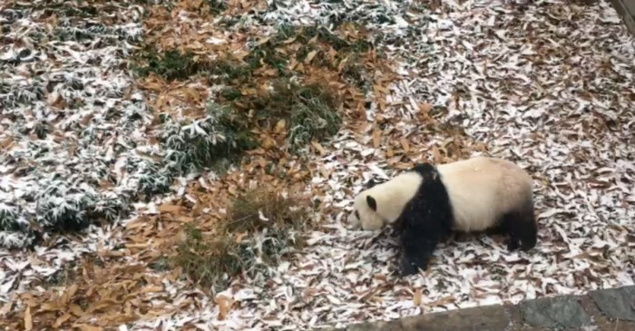This baby panda frolicking in the snow proves that bears just love cold weather