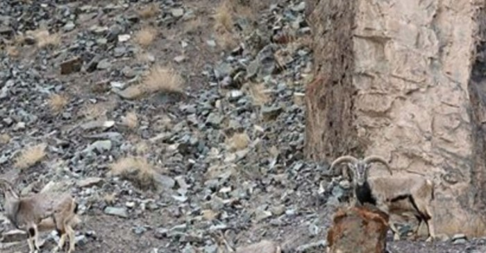 A snow leopard is stalking its prey in plain sight in this photo — do you see it?