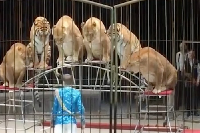 "Is this Russian circus ""making clowns out of animals,"" or is something else going on with their big cats?"