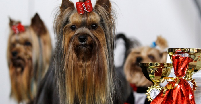 12 happy and hairy facts on the Yorkie