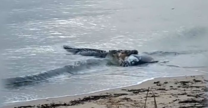 Watch what happened when a huge crocodile found a giant fish washed up dead on a beach
