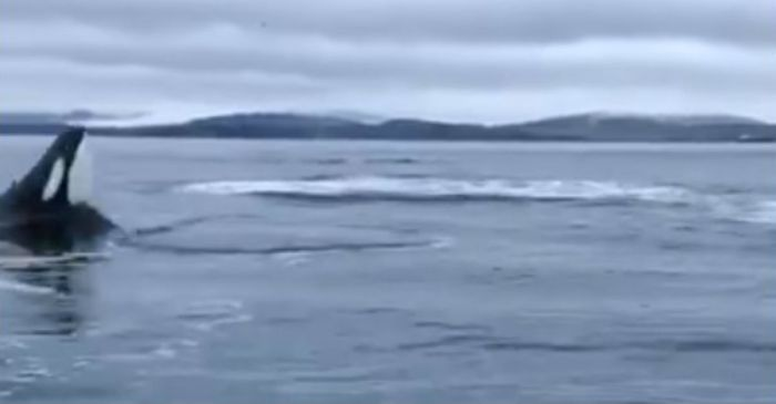 """Oh, Lord love a duck"": Stunned fisherman captured the exact moment a killer whale showed off its hops"
