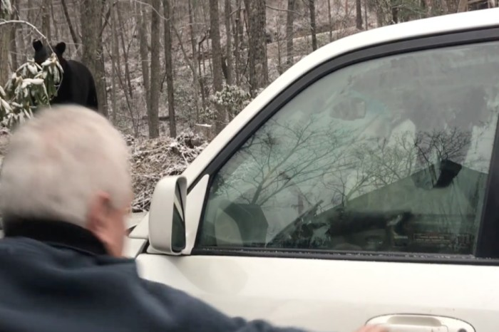 A bear cub is freed from the inside of a car after locking itself in