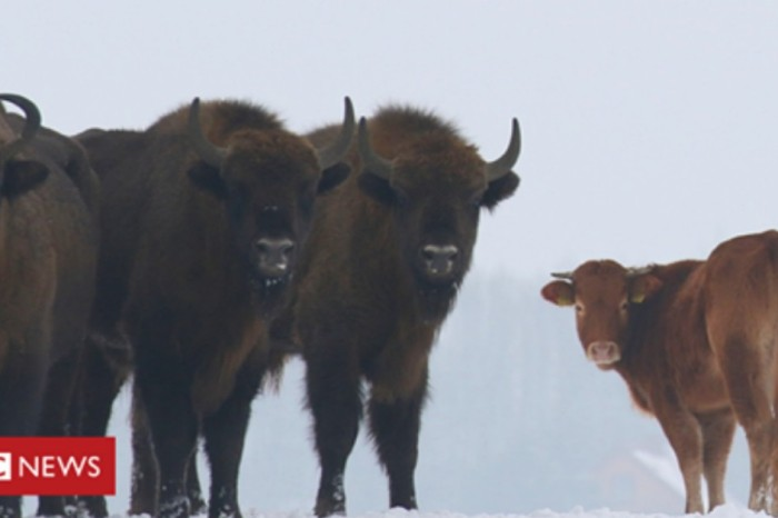 One Polish cow caused confusion when it decided to hang out with a herd of bison