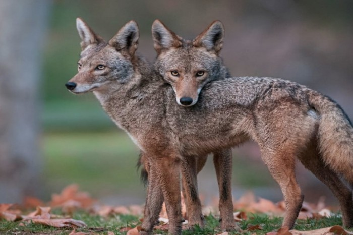 Coyotes in St. Louis are getting increasingly brazen with their activities this winter