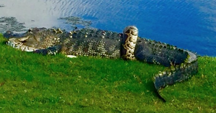 An alligator and a python were locked in combat in the middle of a Florida golf course