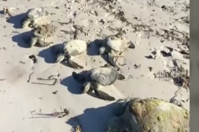 Cold-stunned sea turtles are washing up on shore — and people are weirded out