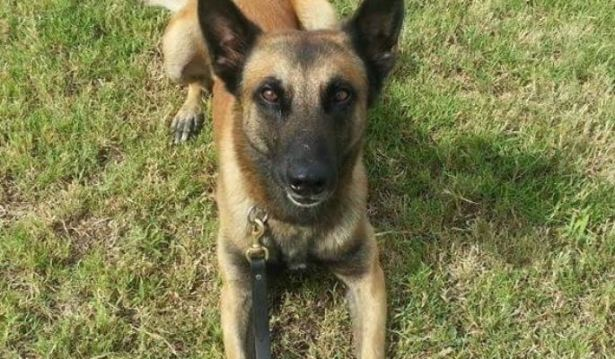 HPD's elite K-9 euthanized after his 250th capture