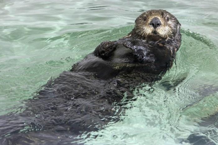 Shedd Aquarium shares photos of the late 15-year-old sea otter Mari