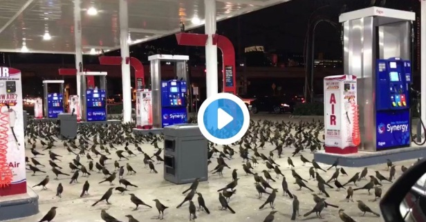 Houston briefly became the set of Hitchcock film when grackles took over an area gas station