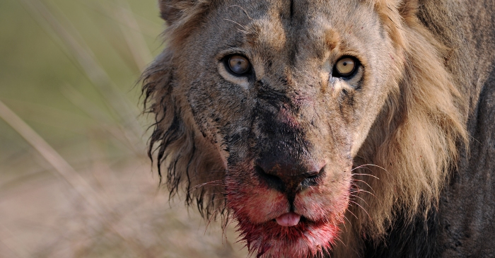 A pride of lions killed and ate a suspected poacher and left only his head behind