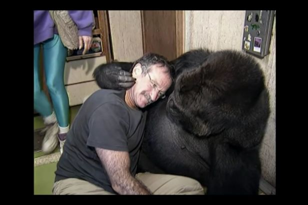 Koko the Gorilla Mourned the Loss of Robin Williams