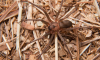 Brown Recluse Spider Location