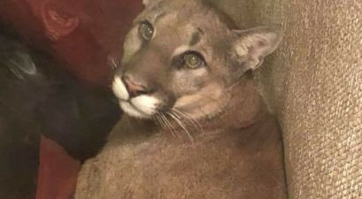"Woman Uses ""Telepathy"" to Urge Mountain Lion out of Her Home"