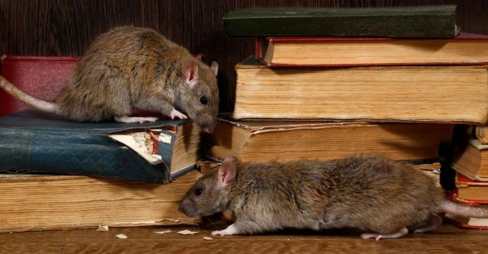 Chicago Beats New York as 'Rat Capital' of The U.S.