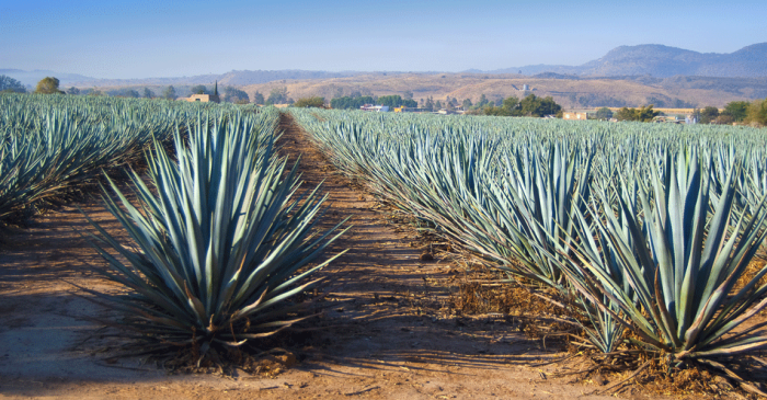 Did You Know That Tequila Production Depends on This Animal?