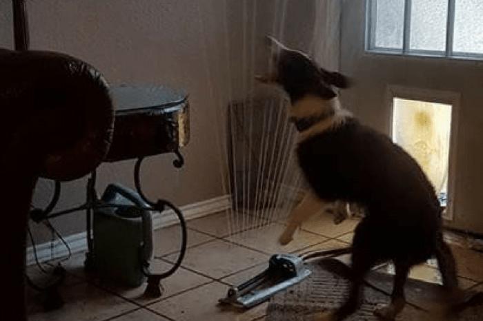 Dog Loves Sprinkler So Much He Brings it Inside Through Doggy Door