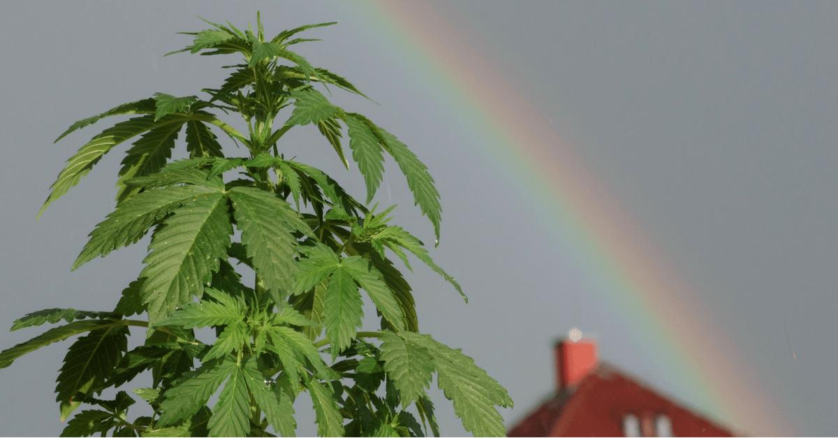 Marijuana Plant Powell Wyoming