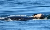 Grieving Orca Carries Dead Calf Off British Columbia