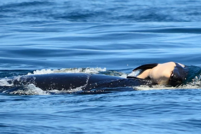 Mourning Orca Still Carrying Dead Calf Over 2 Weeks Later on 'Tour of Grief'