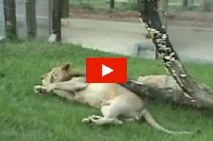 Rescued Circus Lion Happily Steps on Green Ground for the First Time