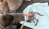 Australian Women Save Baby Kangaroo
