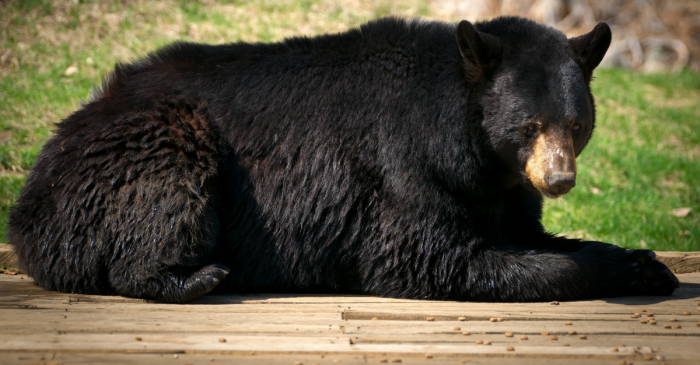 95-Year-Old Woman Chases Bear Out of Her Kitchen… Twice