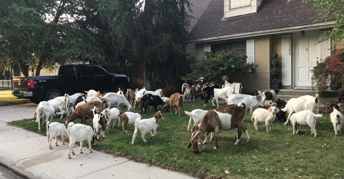 Goats Boise Idaho