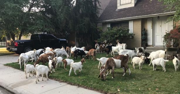 Escaped Goat Herd Descends on Boise Neighborhood, Eats Every Lawn