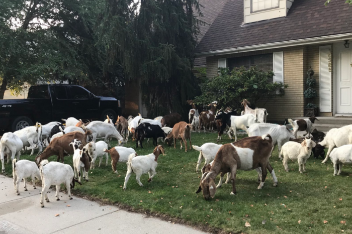 Escaped Goat Herd Descends on Boise Neighborhood, Eats Every Lawn