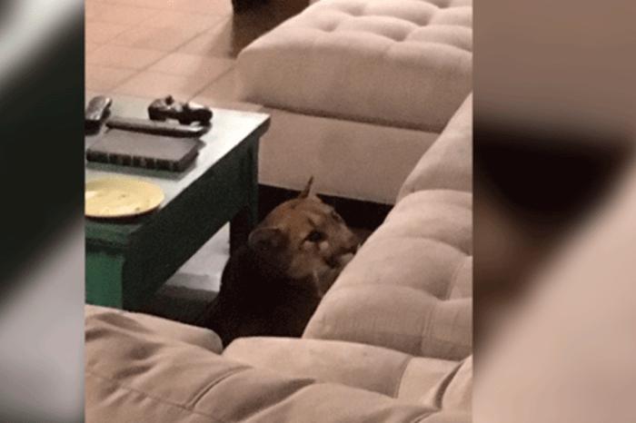 Mountain Lion Breaks into Colorado Home with Tragic Consequences