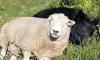 sheep ram pig best friends