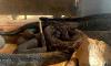 West Virginia Rattlesnake