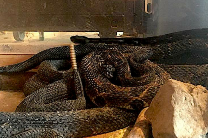 A West Virginia Man Was Arrested for Keeping 17 Rattlesnakes in His House