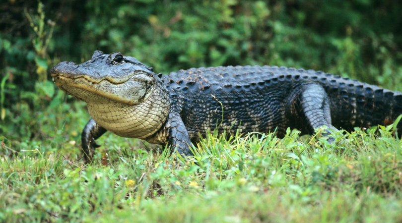 South Carolina Woman Killed In Alligator Attack While Protecting Dog