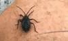 'Kissing bugs' Carrying Dangerous Disease Found in Florida