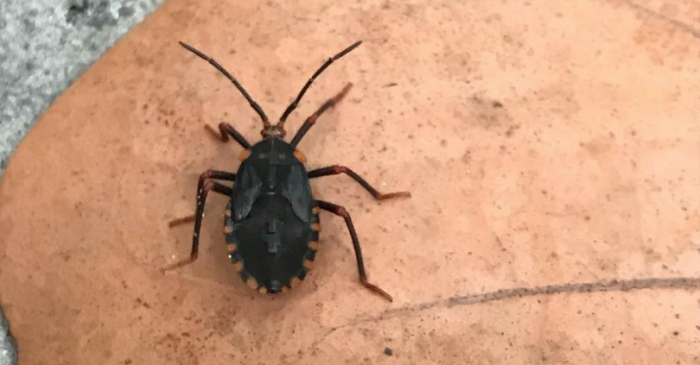 Dangerous 'Kissing Bugs' on the Rise Nationwide, What You Need to Know