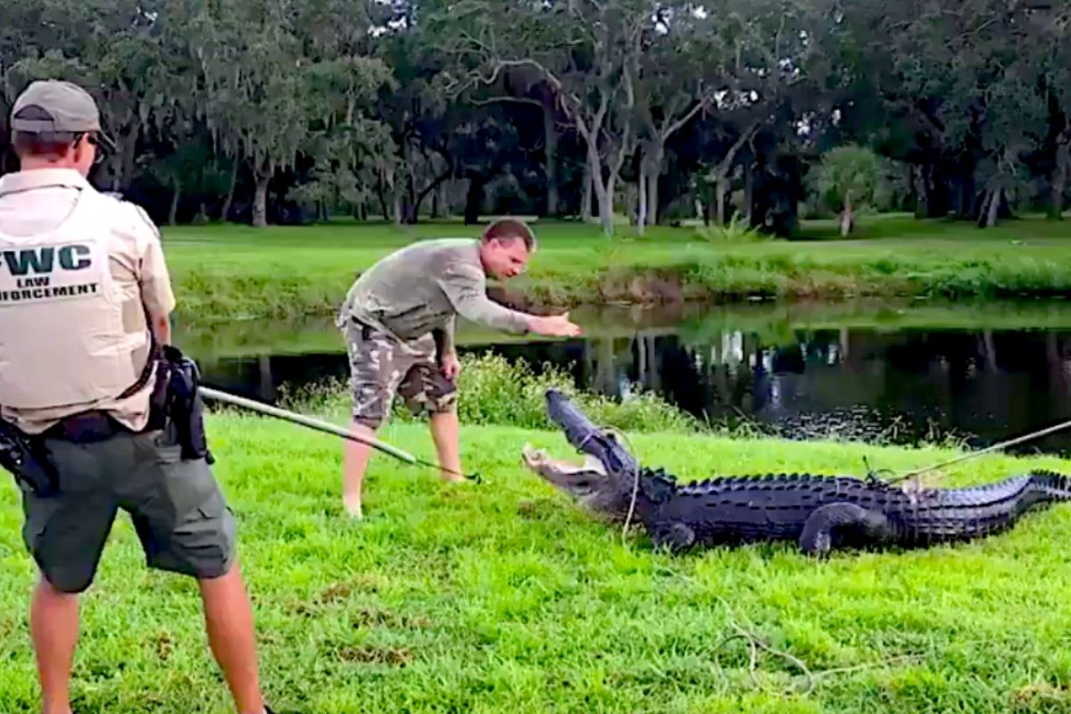 Gator Takes a Bite Out of Guy Getting Frisbee Out of Pond