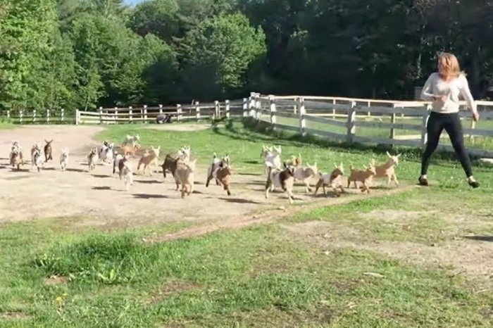 A Stampede of Baby Goats is Even More Adorable Than it Sounds