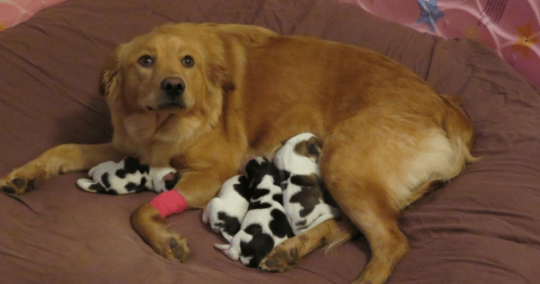 Golden Retriever Mix Spotted Puppies